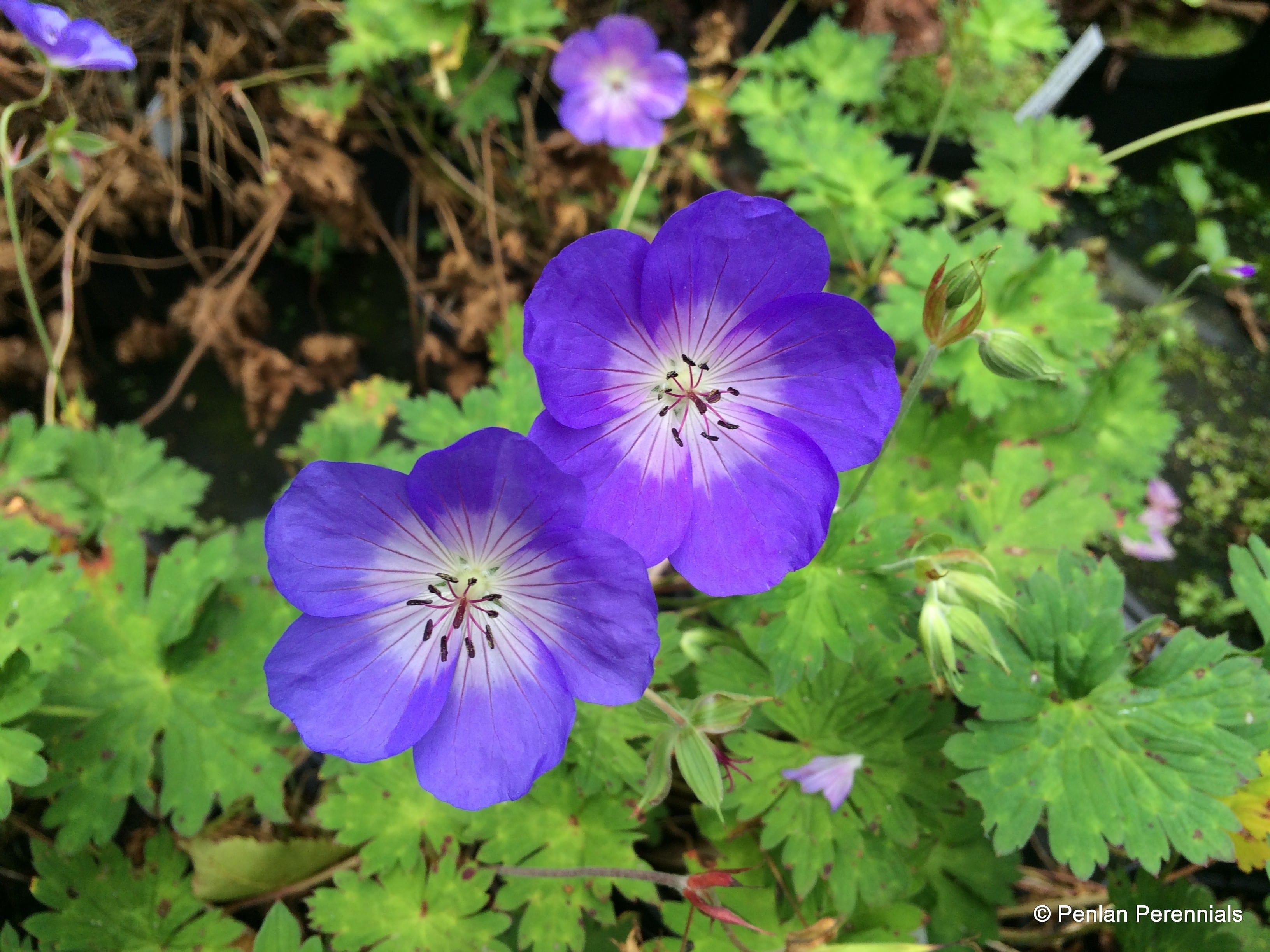 geranium  u2018azure rush u2019  u2013 penlan perennials nursery