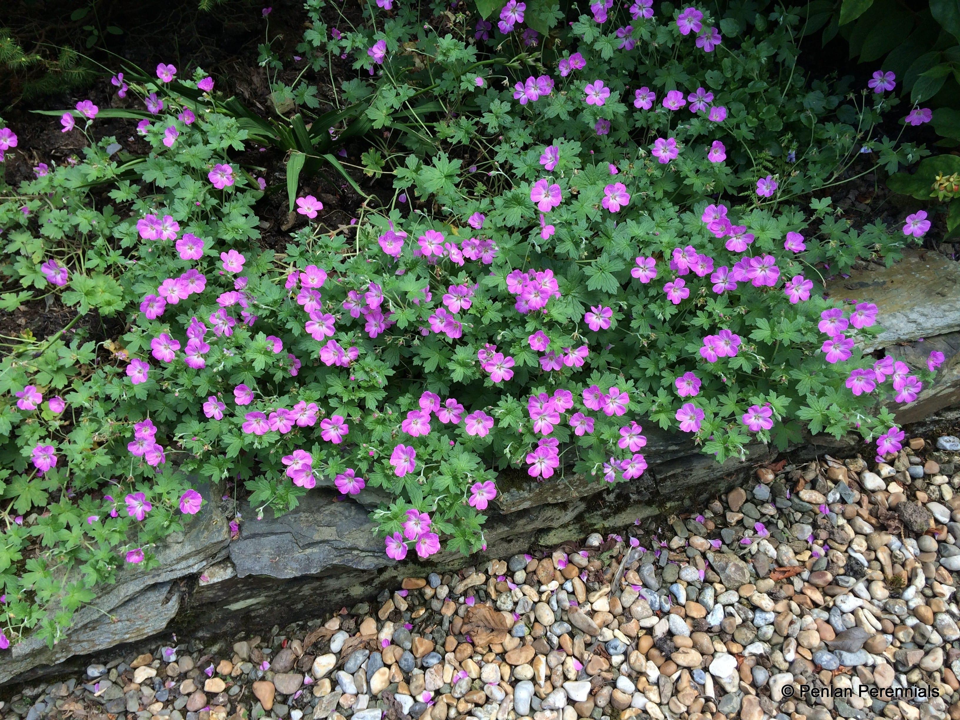 ... Perennial Plants , Hardy Geraniums / Geranium 'Mavis Simpson