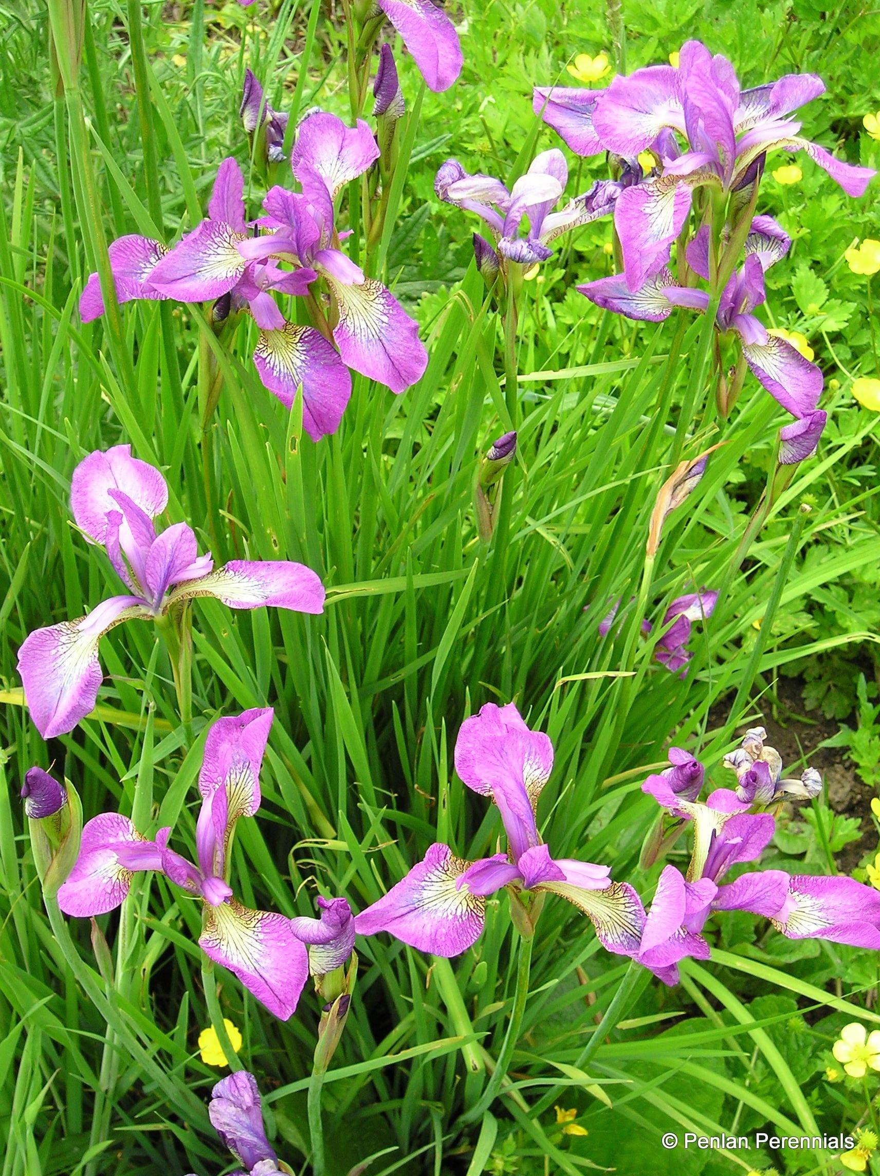 Penlan Perennials Nursery: Iris Sibirica 'Sparkling Rosé'
