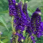 Veronica longifolia 'Marietta'