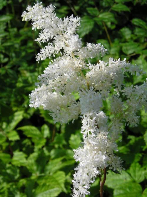 Astilbe brautschleier x arendsii penlan perennials for Perennial pond plants