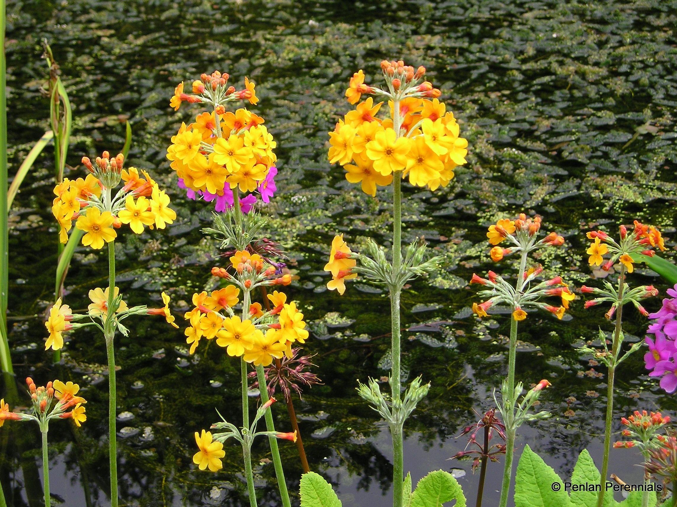 Primula bulleyana penlan perennials nursery for Perennial pond plants