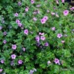 geranium_dilys1