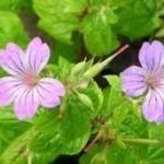 geranium_nodosum_svelte_lilac
