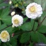 Ranunculus aconitifolius 'Flore Pleno'