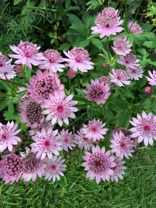 Penlan Perennials Nursery: Astrantia Major 'Rosensinfonie'
