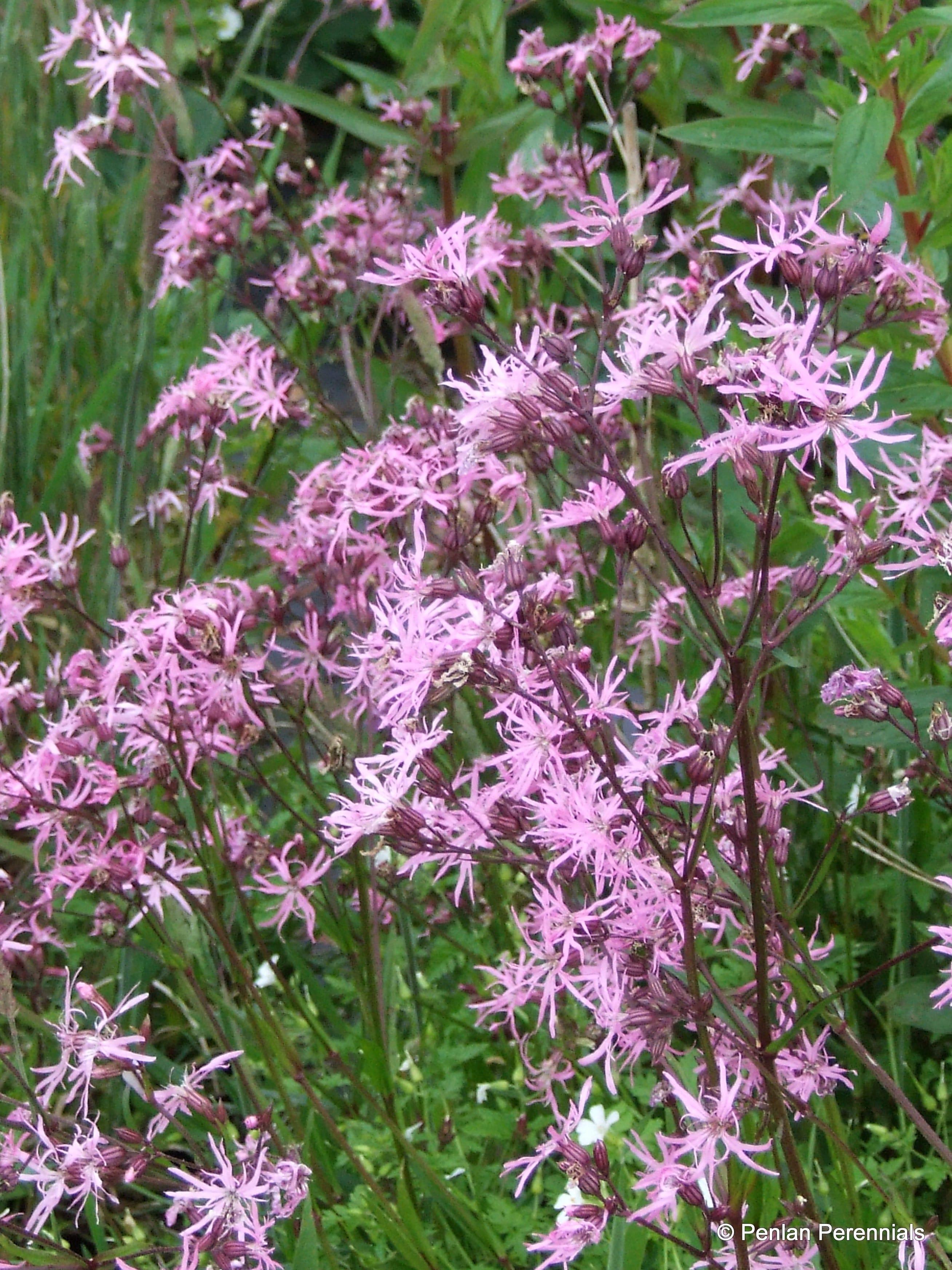 Lychnis flos cuculi penlan perennials nursery for Perennial pond plants
