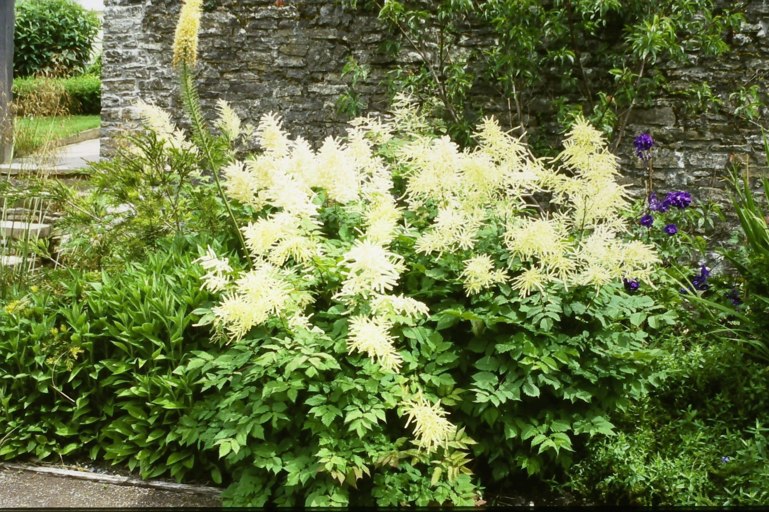 Astilbe irrlicht x arendsii penlan perennials nursery for Perennial pond plants