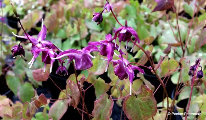 Epimedium grandiflorum 'Red Beauty'