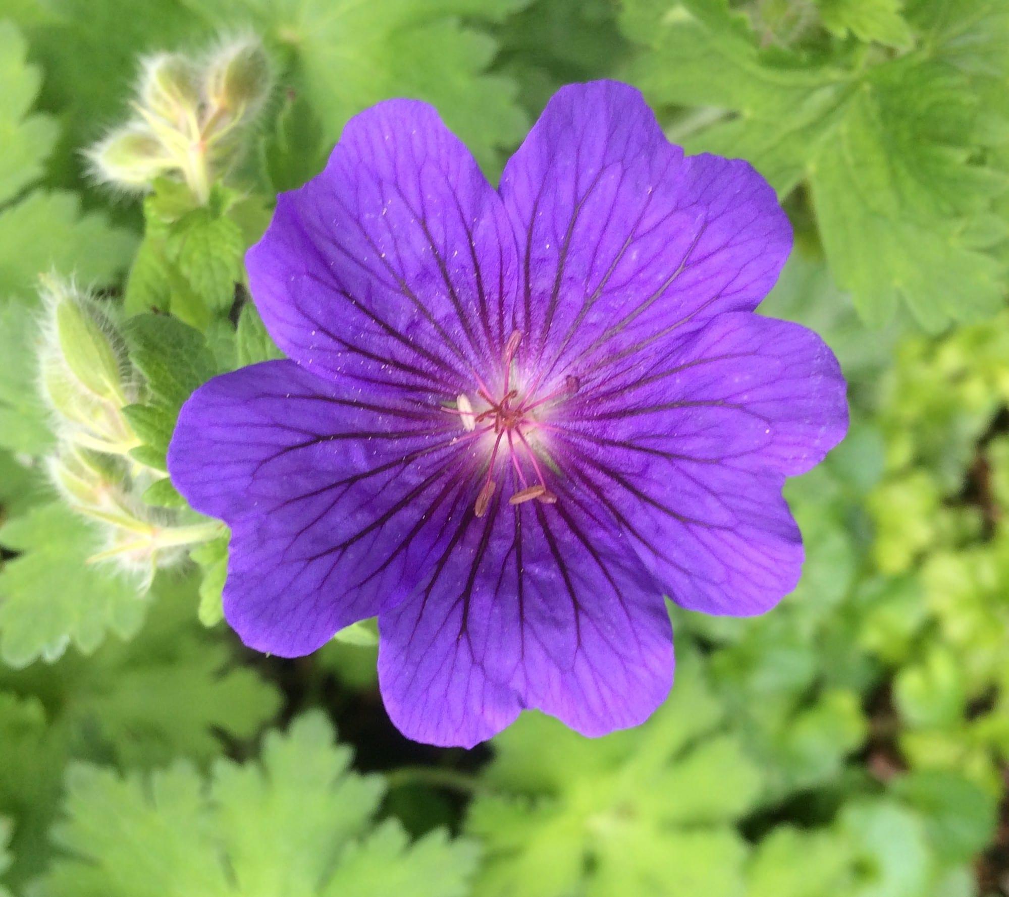 Geranium 'Alan Mayes'