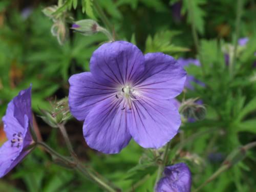 Geranium 'Eureka Blue'
