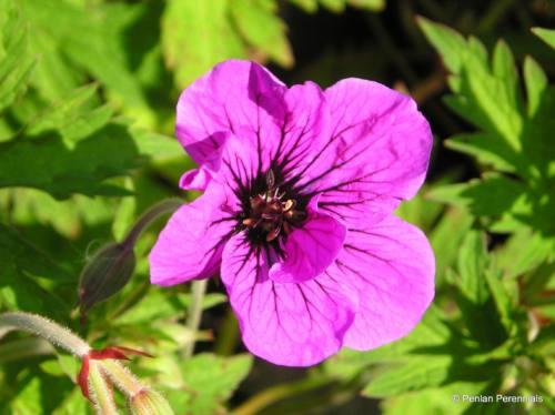 geranium psilostemon  u2013 penlan perennials nursery