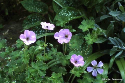 geranium  u2018mavis simpson u2019  u2013 penlan perennials nursery