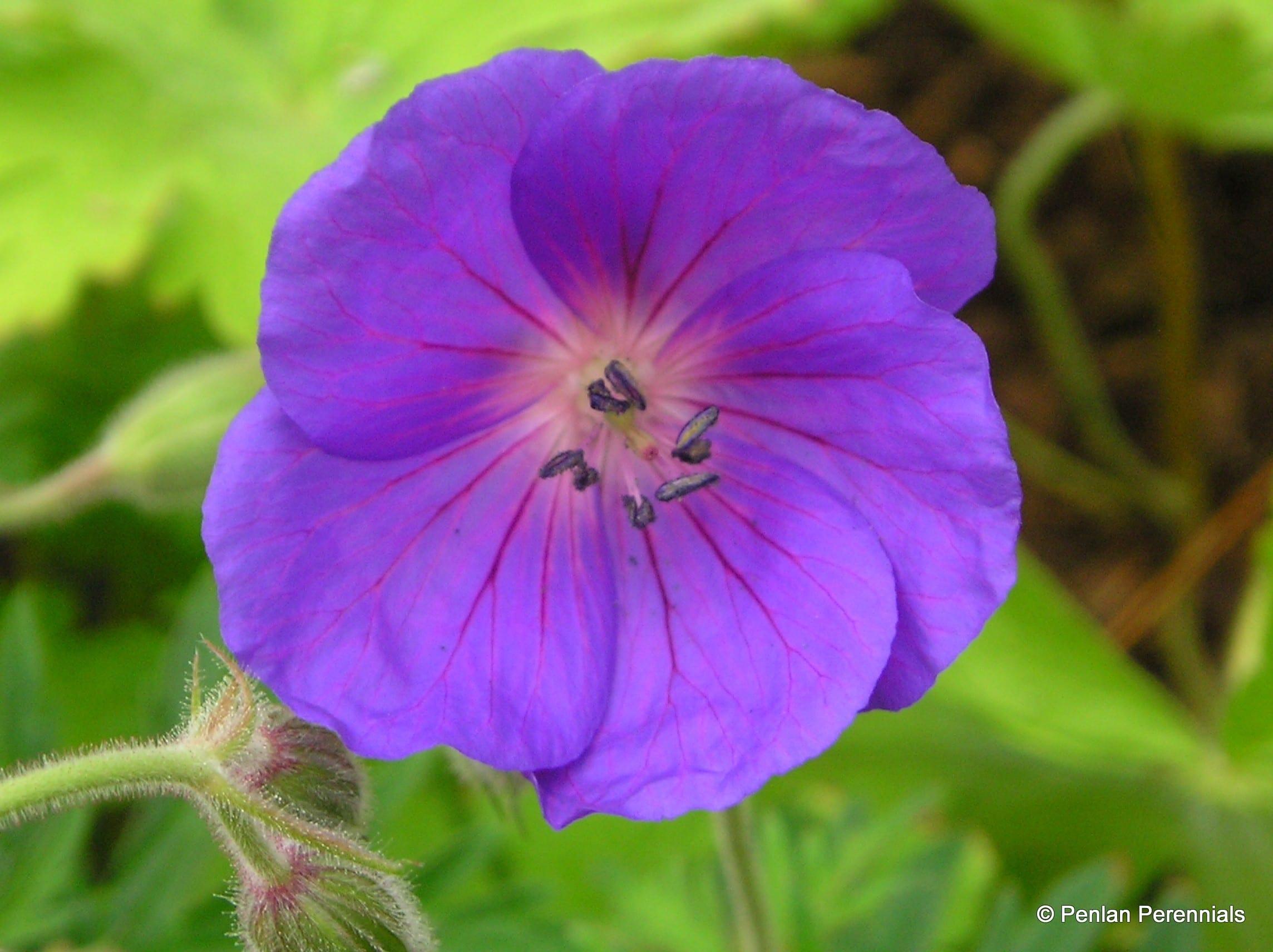 geranium_orion