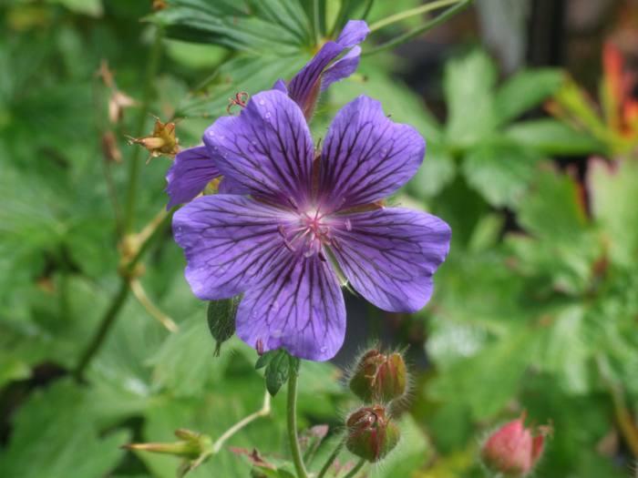 Geranium 'Orkney Dawn'