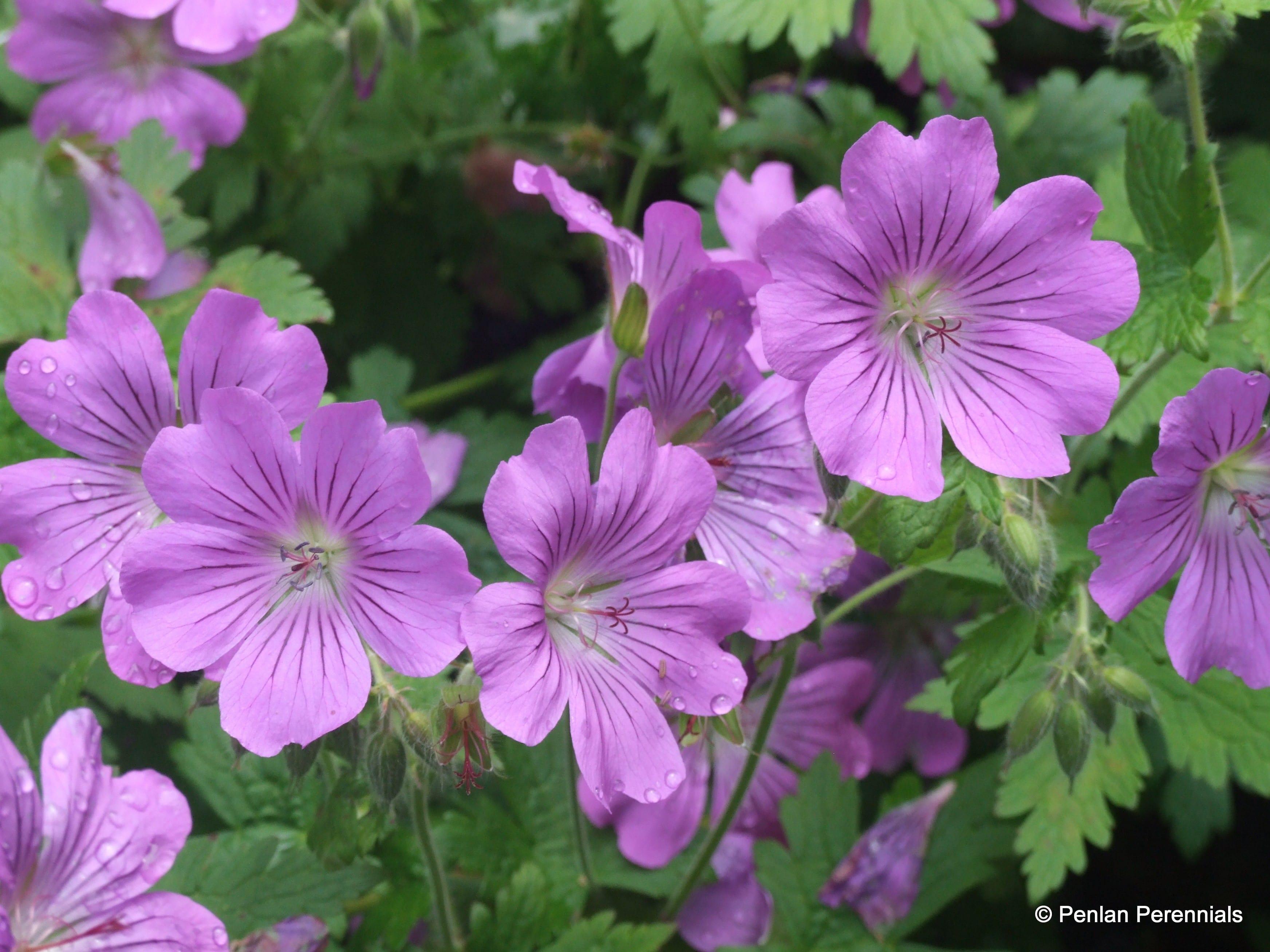 Geranium Sirak on Plants Around Us