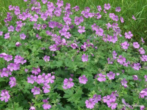 Geranium 'Sirak'
