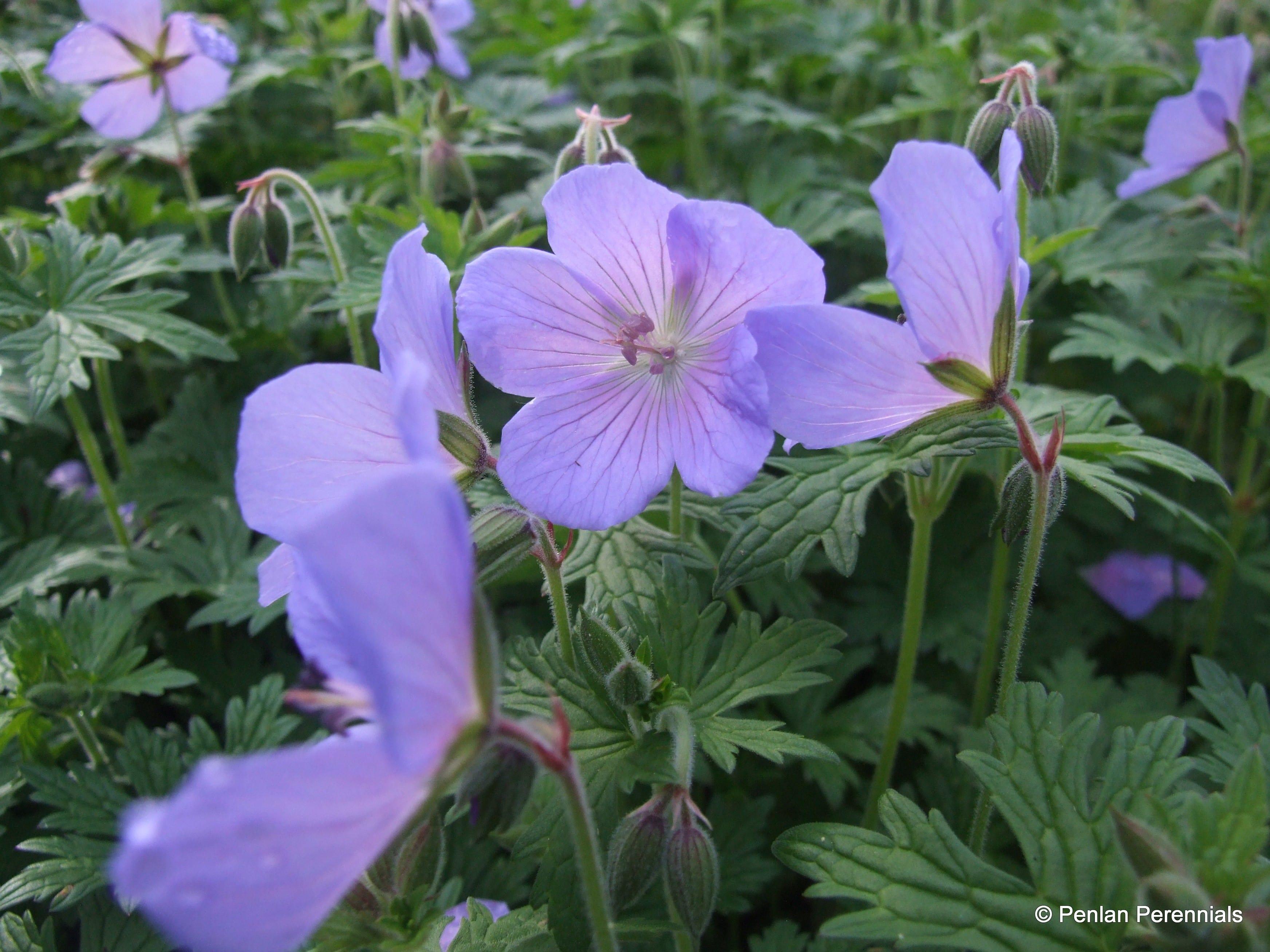 Geranium himalayense 'Irish Blue'