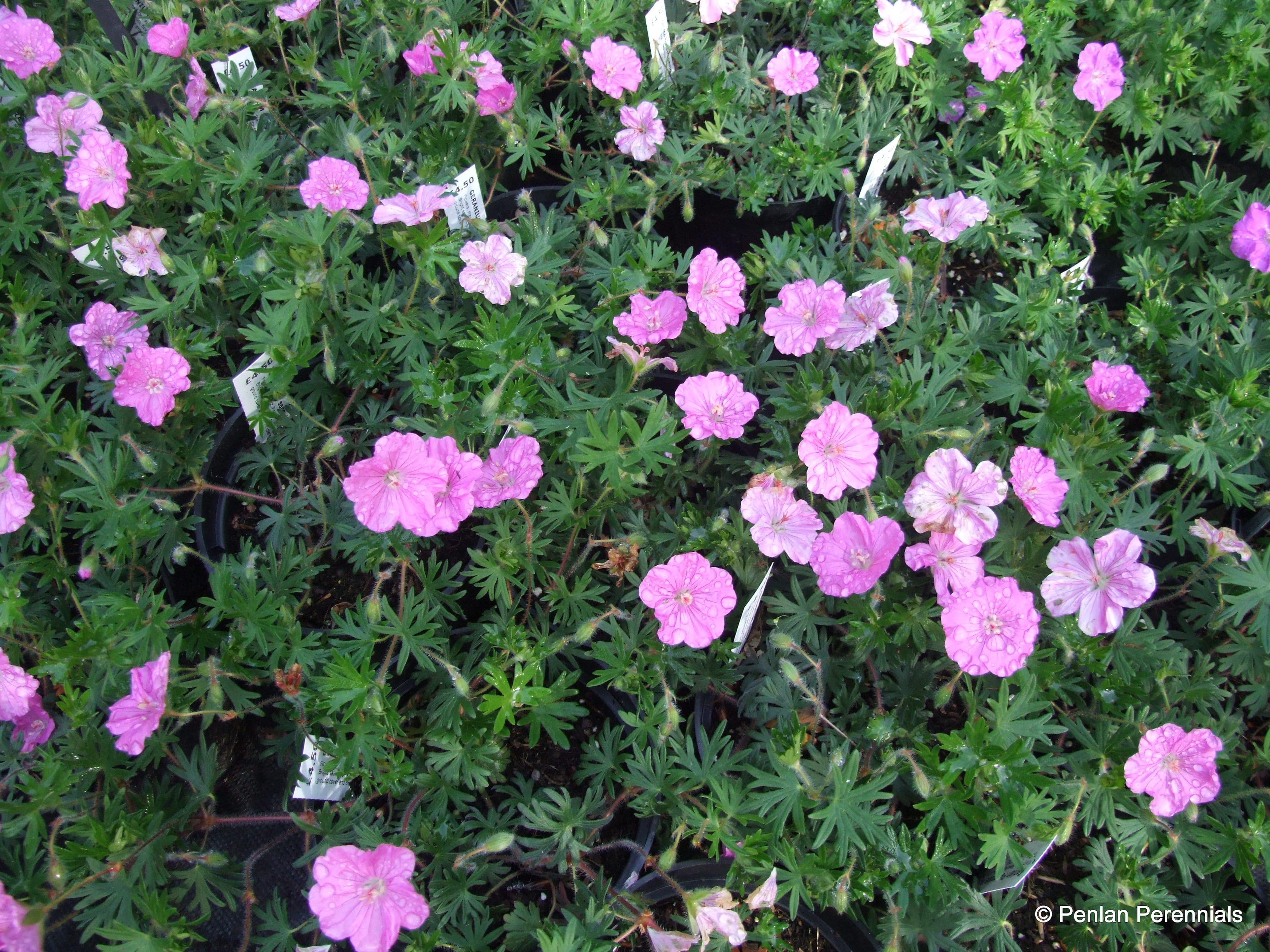 geranium-sanguineum-ankums-pride