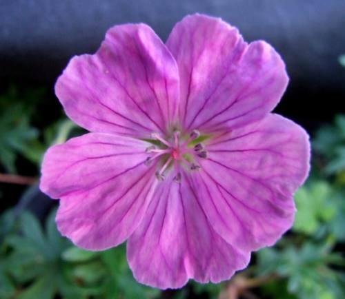 Geranium sanguineum 'Glenluce'