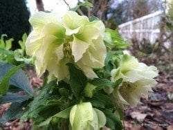 helleborus-x-hybridus-ballards-group