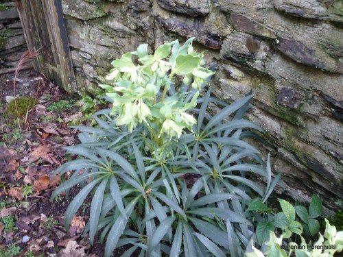 helleborus foetidus  u2013 penlan perennials nursery