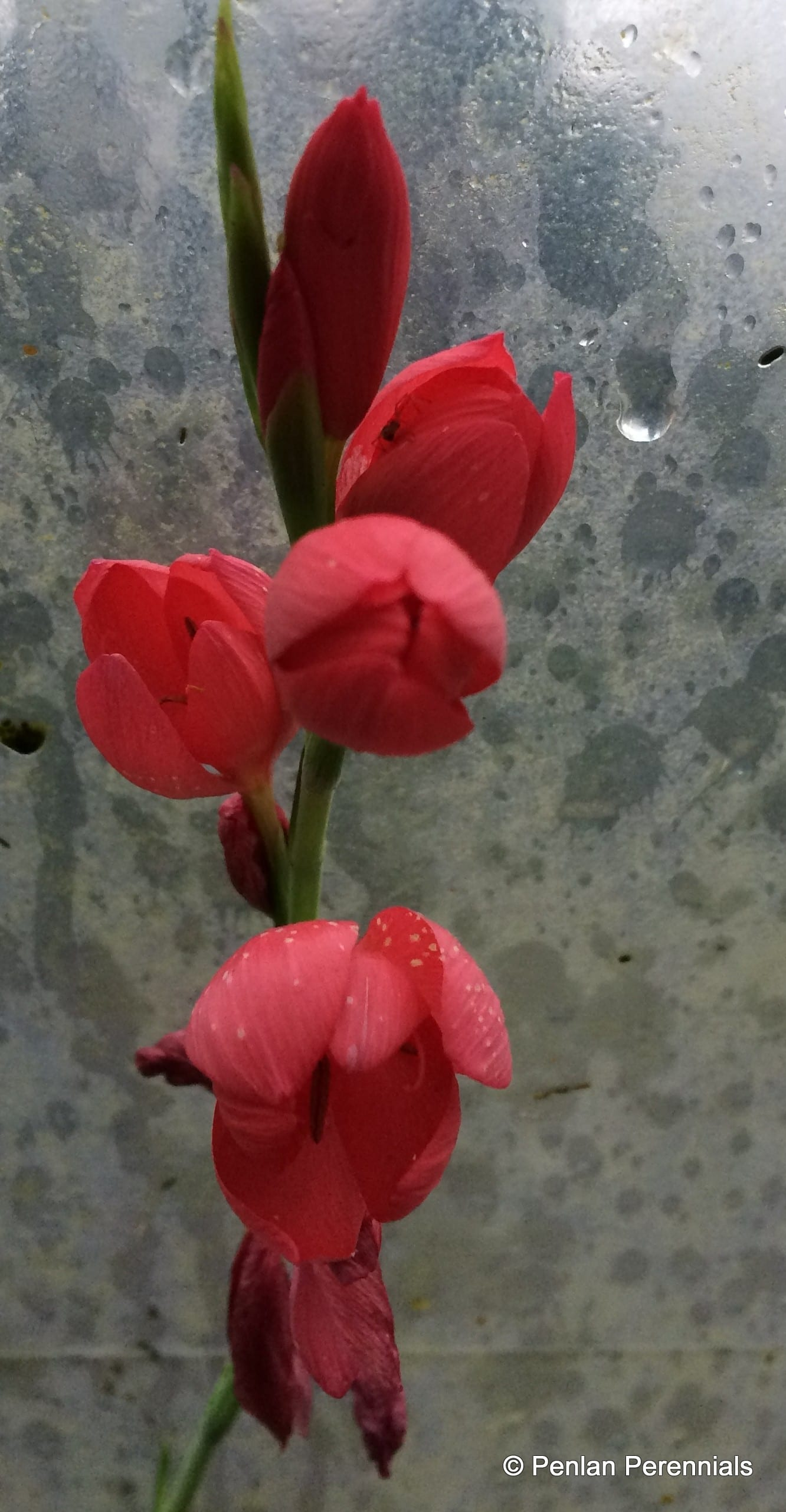 Penlan Perennials Nursery: Hesperantha Coccinea 'Major'