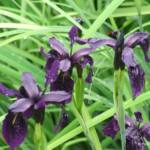 iris-chrysographes-black-form