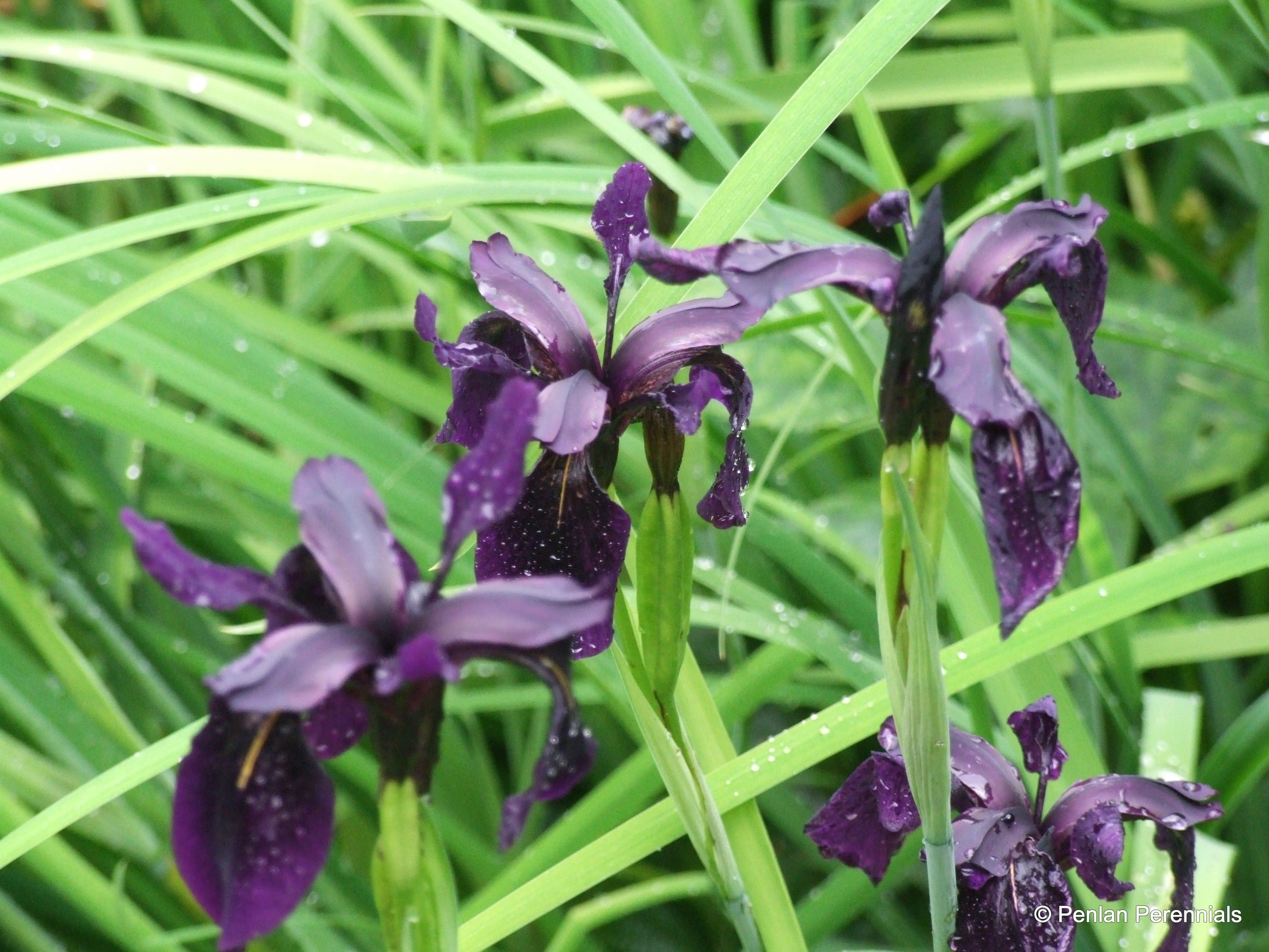 iris-chrysographes-black-form