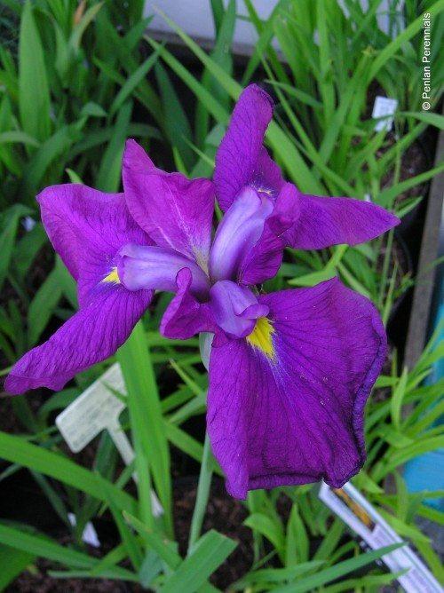 Iris ensata 'Carnival Prince'