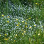 Ranunculus lingua 'Grandiflorus'