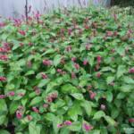 Persicaria amplexicaulis 'Inverleith'