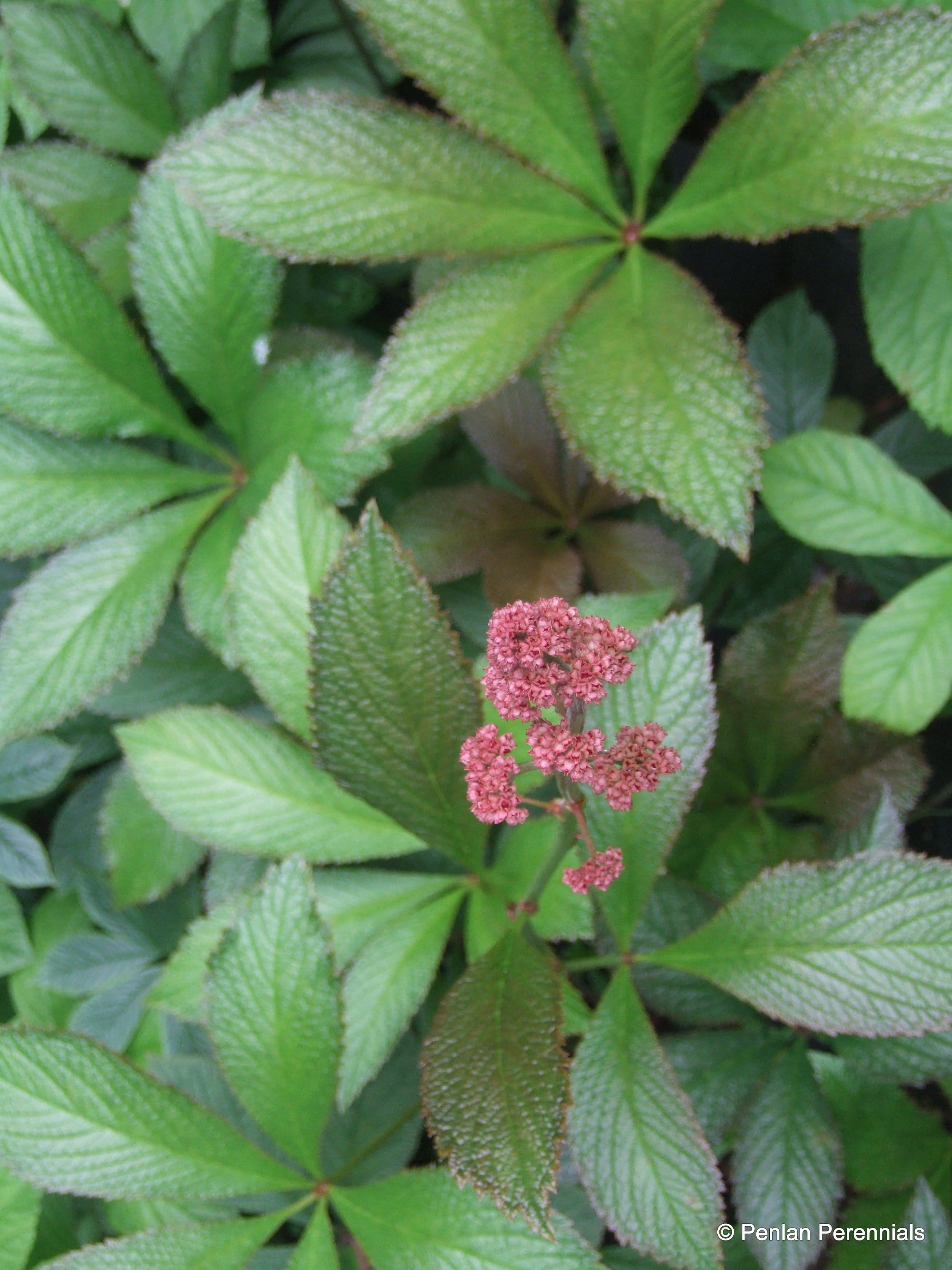Penlan Perennials Nursery: Rodgersia Pinnata 'Superba'
