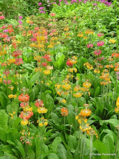 Primula japonica mixed hybrids