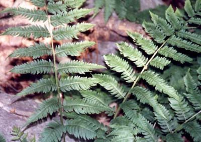 Dryopteris goldieana