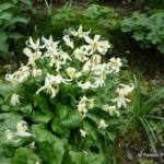 erythronium-californicum-white-beauty