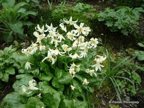 erythronium-californicum-white-beauty