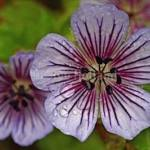 Geranium wallichianum 'Crystal Lake'
