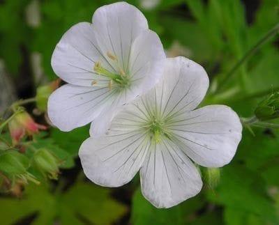 Geranium maculatum forma albiflorum