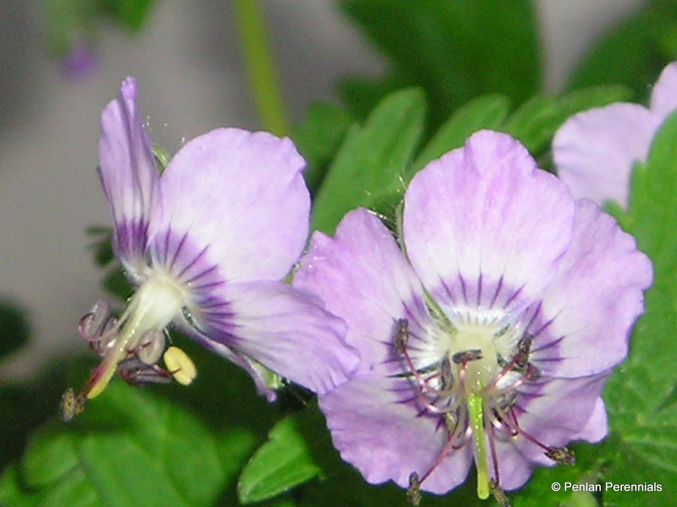 geranium-phaeum-var-ividum