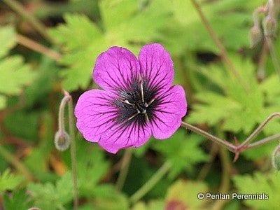 Geranium 'Sandrine'