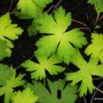 Geranium 'Sandrine' foliage