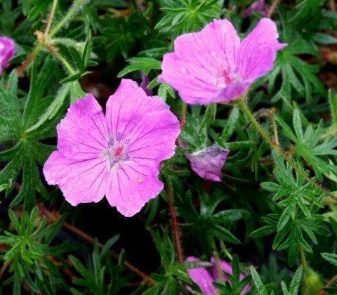 geranium-sanguineum-john-elsley