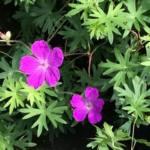 Geranium sanguineum 'Vision Violet'
