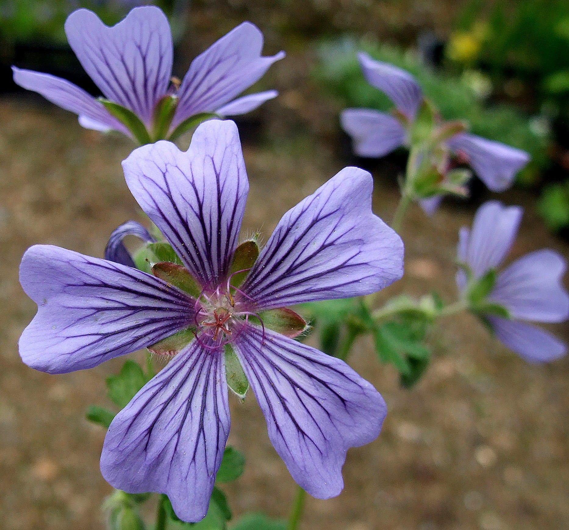geranium-stephanie