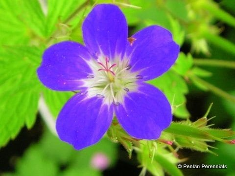 Geranium sylvaticum 'Amy Doncaster'