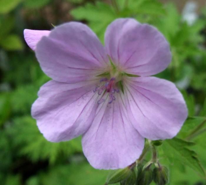 Geranium sylvaticum 'Coquetdale Lilac'