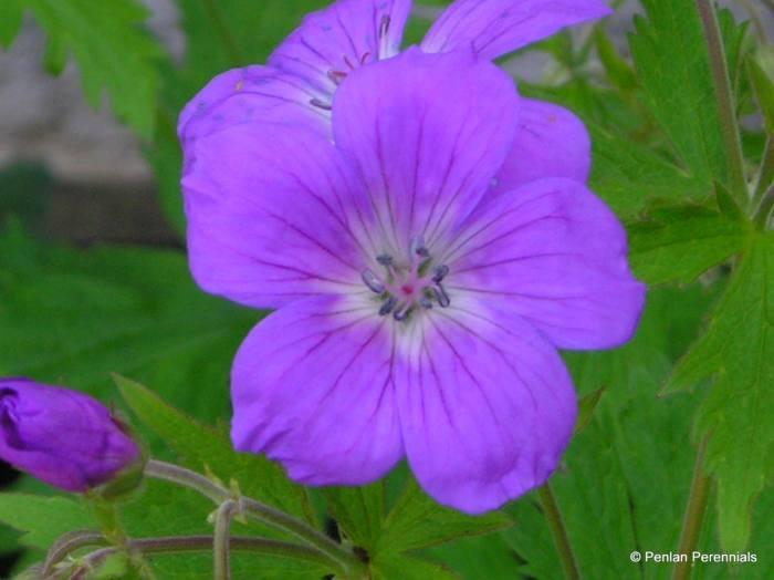 Geranium sylvaticum 'Mayflower'