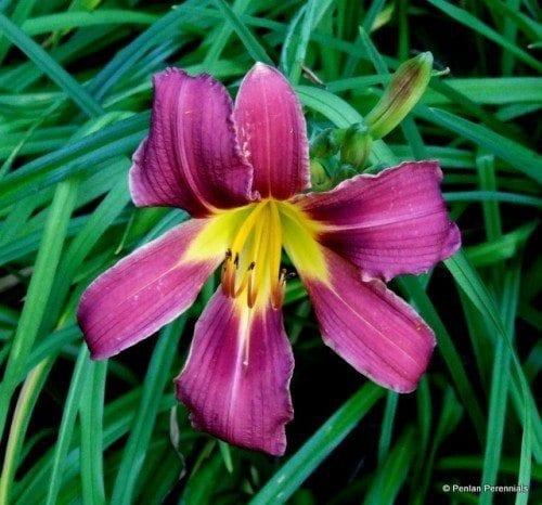 Hemerocallis 'Purple Waters'