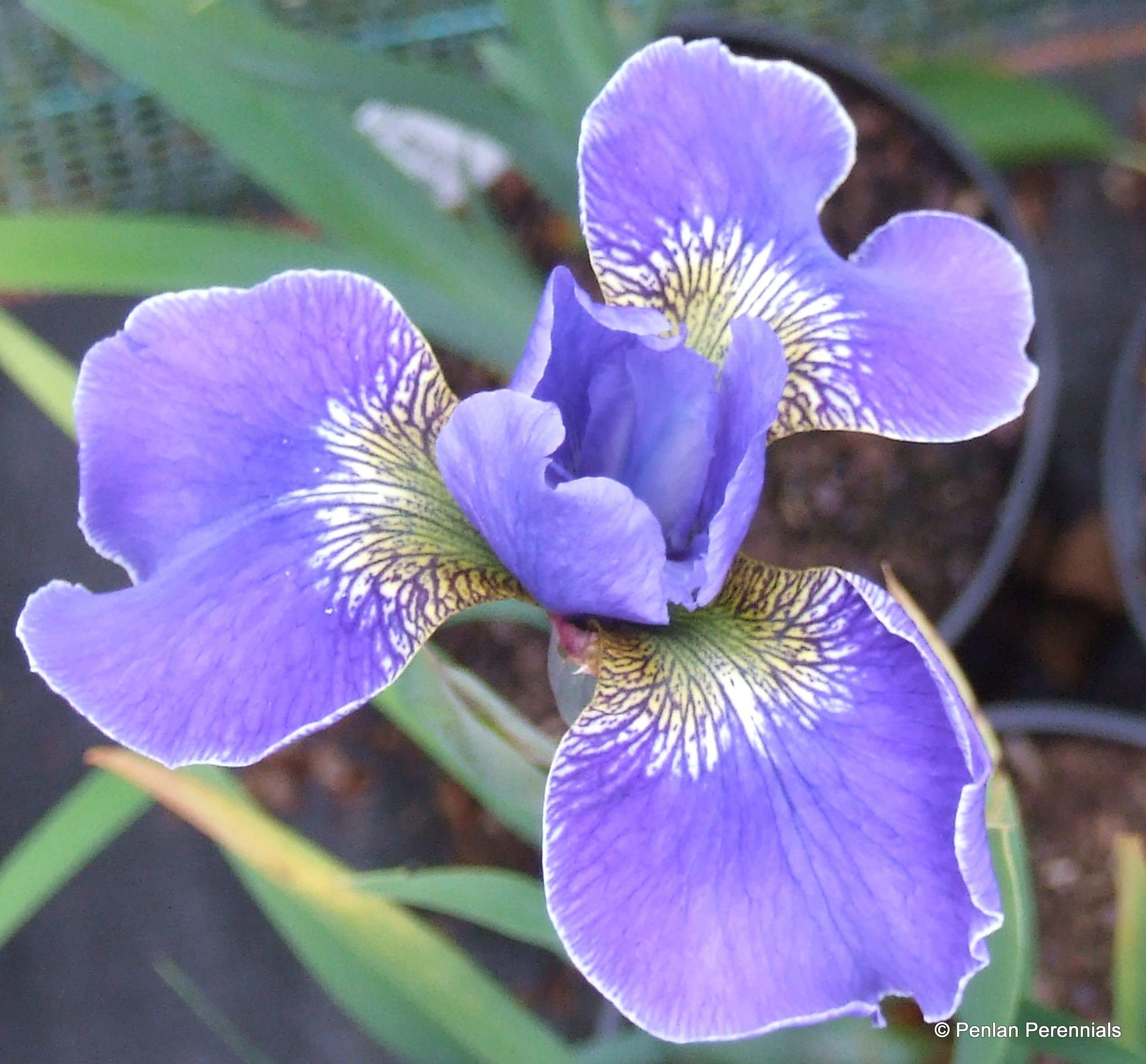 Iris sibirica 'Silver Edge'